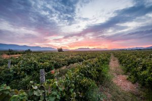 A landscape photo of a vineyard taken at sunrise, showing orange and pink hues in the cloudy sky