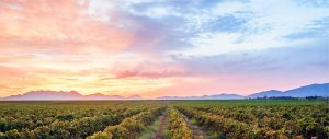A Cape Winelands vineyard landscape at dusk, showing soft pastel shades in the clouds