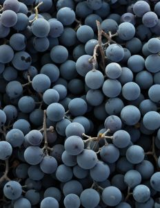 Extreme close-up of plump black grapes harvested for red wine making