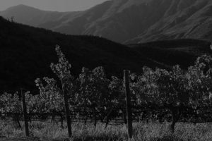 A black and white photo of a Cape Winelands vineyard from where grapes are harvested for Ashton Winery